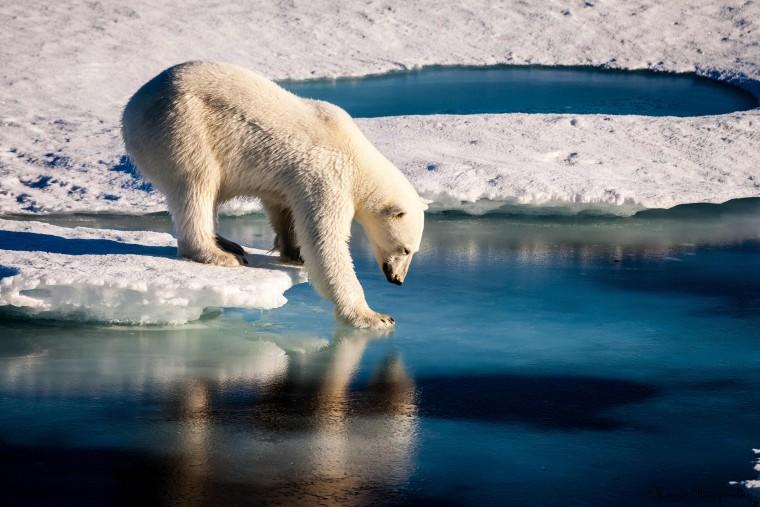Image: Arctic Polar bear