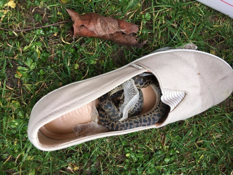 Moira Boxall of Scotland found the snake inside her shoe after traveling on a flight from Queensland, Australia, to Glasgow.