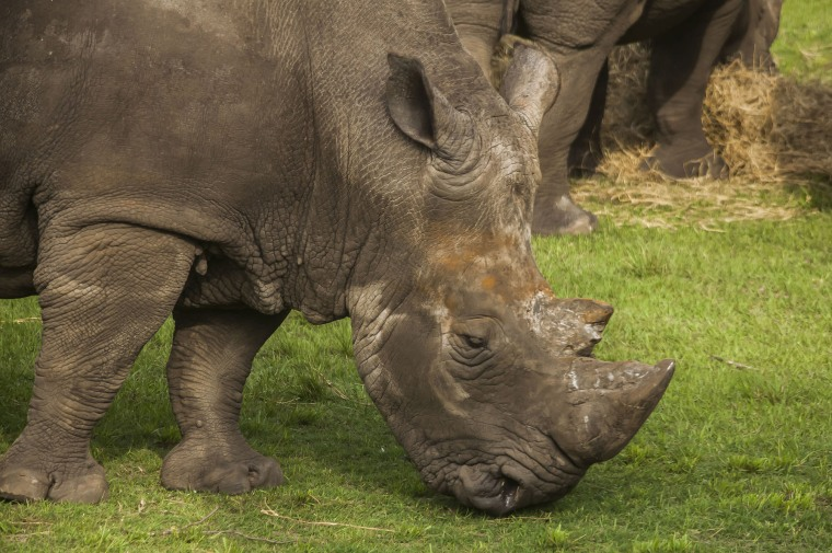 Image: Archie, a rhino at the Jacksonville Zoo and Gardens, struck a female zookeeper with his horn.
