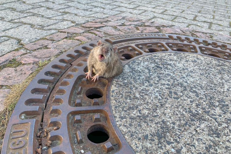 Image: A rat was rescued by firefighters after being stuck in a grate in Germany on Feb. 24, 2019.
