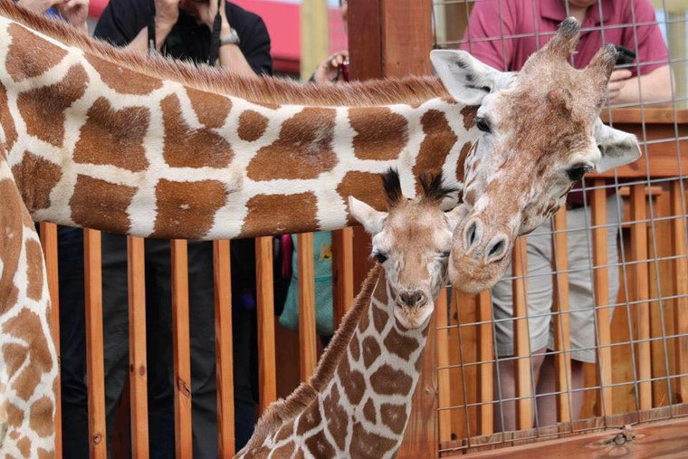 Image: April the giraffe and her offspring Tajiri are shown in their enclosure in Harpursville, N.Y.
