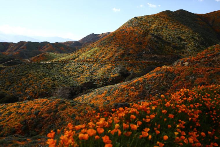 Image: ***BESTPIX*** Wet Winter Weather Brings 'Super Bloom' Of Wildflowers To California