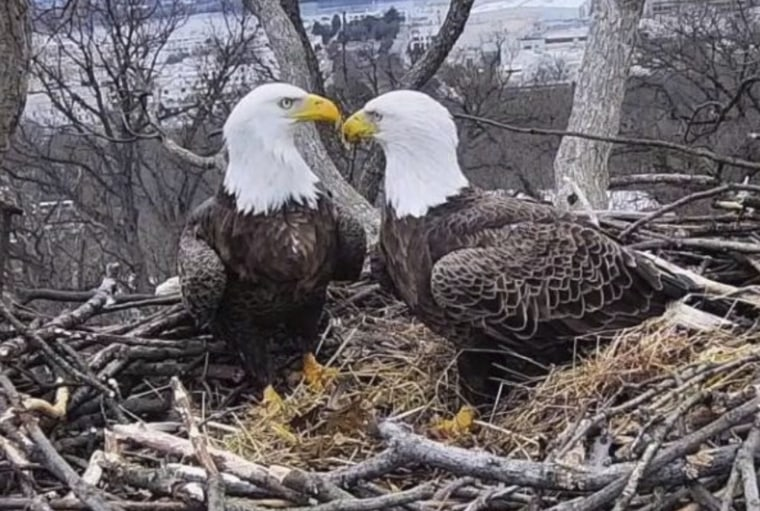 Image: Bald Eagles Liberty and Justice in their nest in Washington on March 4, 2019. The pair have nested and raised eaglets together for 14 years on the grounds of Washington's police academy.