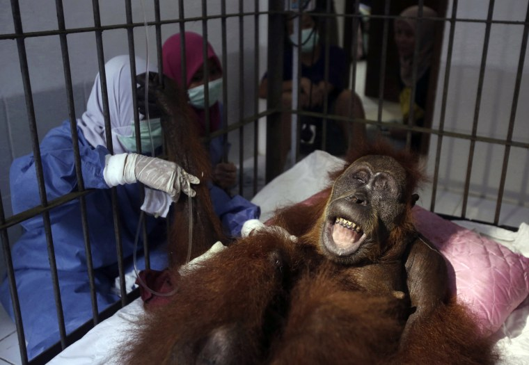 Image: Veterinarians and volunteers tend to a female orangutan, named Hope, after a surgery to remove dozens of air rifle pellets from her body in Indonesia on March 17, 2019.