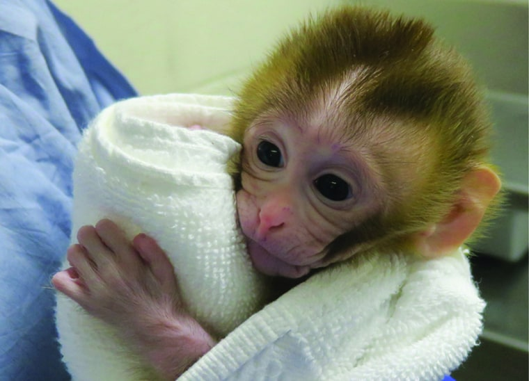Image: A baby monkey, named Grady, was born from experimental technology that aims to help young boys undergoing cancer treatment to preserve their future fertility in March 2019.