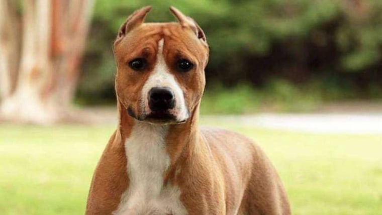 Image: Gale, a 22-month-old American Staffordshire terrier, has gone missing before flying home from Hartsfield-Jackson International Airport in Atlanta.