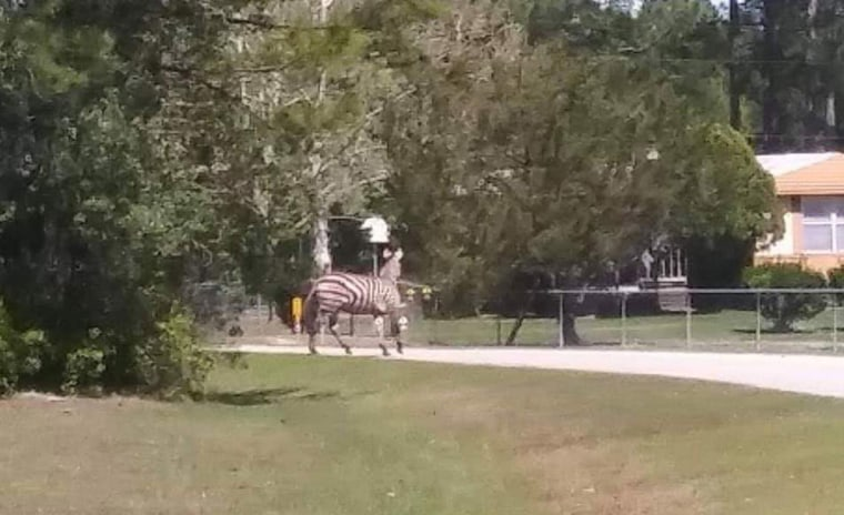 Image: A pet zebra escaped from a Florida home and was shot and killed by its owner, who wasn't licensed to own the animal