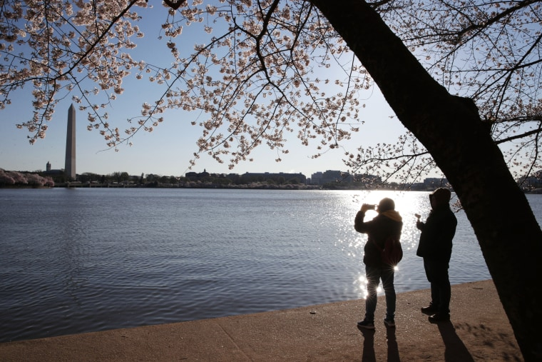 Image: Peak Bloom Hits During National Cherry Blossom Festival in Washington DC