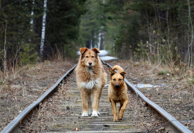 Image: Stray dogs walk along a railway located in the Siberian Taiga forest near Krasnoyarsk