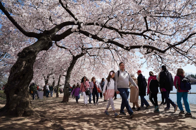 Image: TOPSHOT-US-FESTIVAL-CHERRY-BLOSSOMS-nature