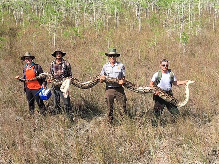 Image: A 17 foot long python, weighing 140 pounds and containing 73 developing eggs, is found in southern Florida