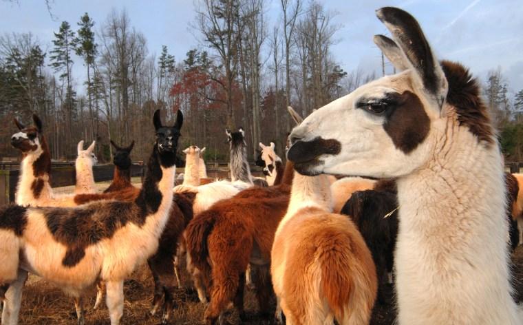 Image: Llamas