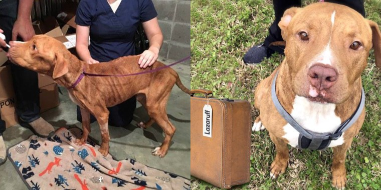 Once 19 pounds and near death, Lazaruff has transformed into a healthy, goofy dog who weighs 69 pounds and is ready for his second chance at life.