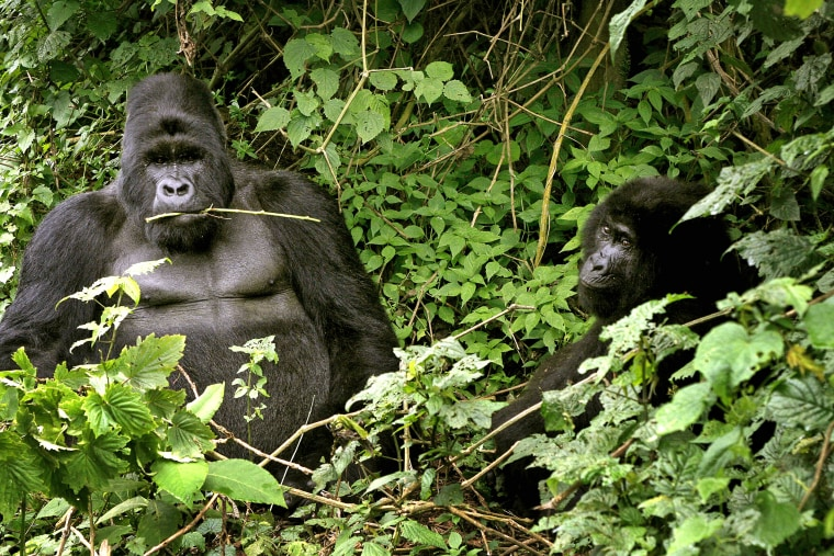 Two mountain gorillas seen in Virunga National Park, near the Uganda border in eastern Congo, in November 2008.