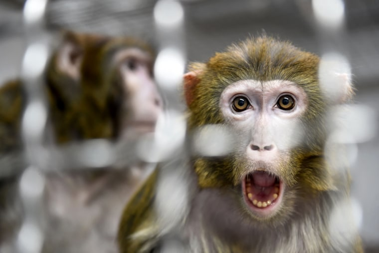 Image: A Rhesus macaque that was rescued from a research laboratory in a quarantine room at an animal shelter in France on March 13, 2019.