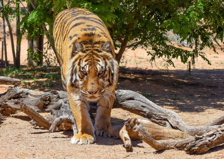 Image: Bowie, an 11-year-old Bengal tiger at Keepers of the Wild sanctuary in Arizona.