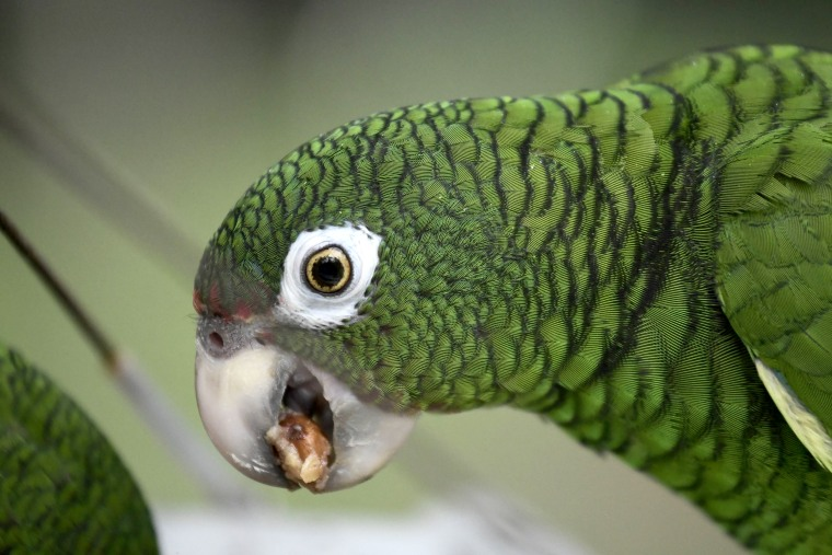 A Puerto Rican parrot eats inside one of the flight cages in the Iguaca Aviary at El Yunque, Puerto Rico on Nov. 6, 2018.