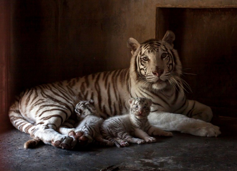 Image: BESTPIX - MEXICO-ZOO-WHITE-TIGER-BIRTH