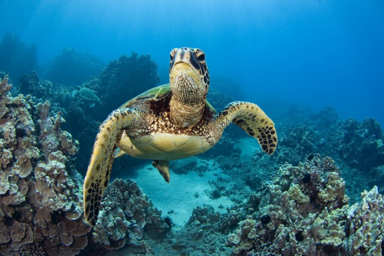 turtle sea endangered animals turtles species shows comeback survey making fleetham dave printscapes climate environment photograph which photographs water change