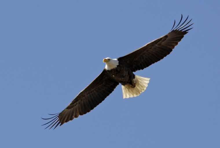 An American bald eagle flies over its nest at the Martin State Airport in Middle River, Maryland in 2009.
