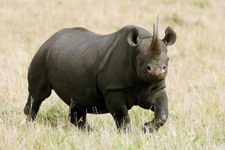 Image: Black Rhino