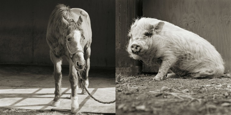 Isa Leshko's photographs of an elderly horse and an aging pig
