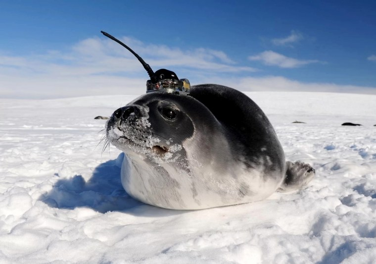 Image: Scientists equipped seals with temporary satellite tags and sent them swimming under sea ice in Antarctica to collect data on water conditions.