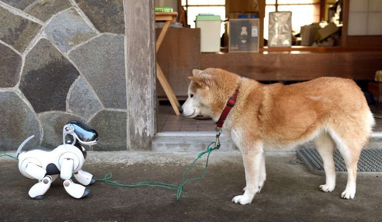 """Kuma,\"" the Shiba Inu looks at AIBO playing"