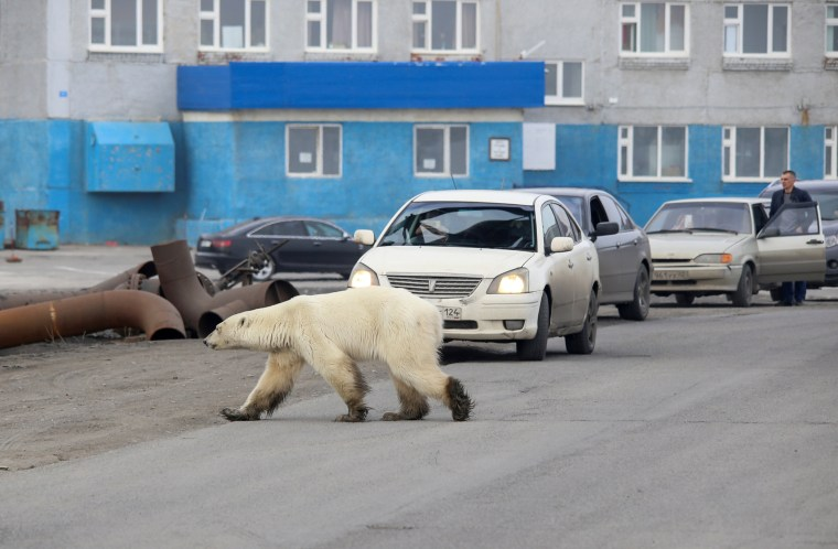 Image: A stray polar bear is seen in the industrial city of Norilsk