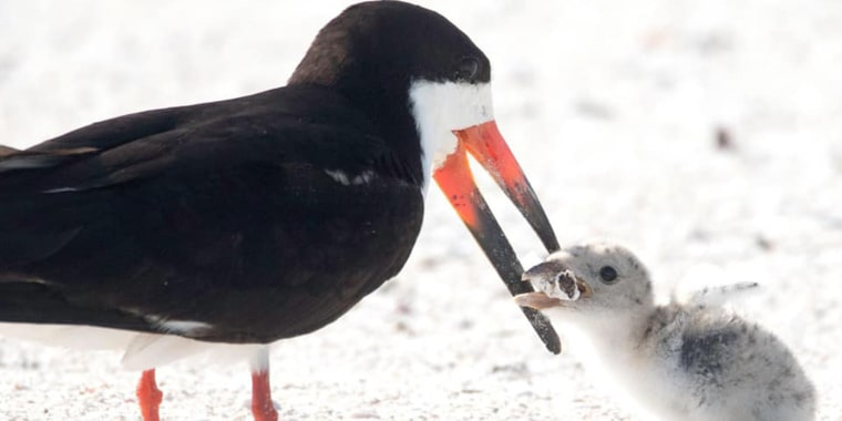 Bird feeds baby chick a cigarette butt in Florida