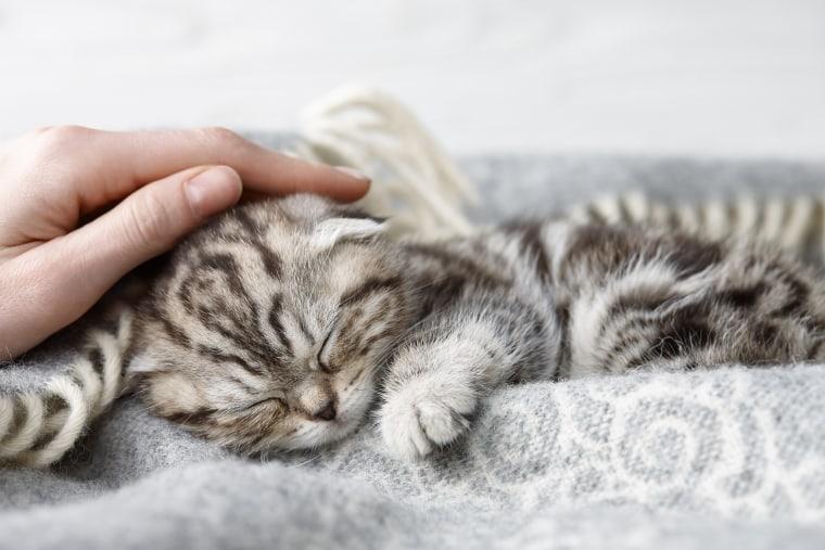 Stroking sleeping scottish fold kitten