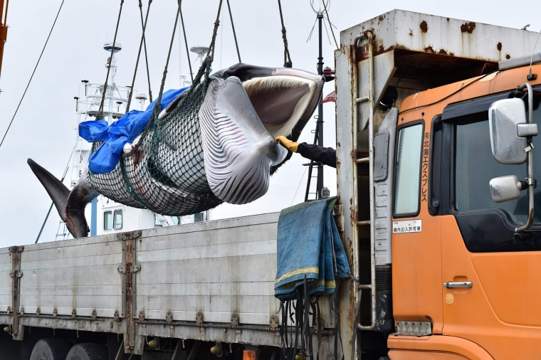Image: A captured Minke whale is lifted by a crane into a truck bed at a port in Kushiro, Hokkaido Prefecture