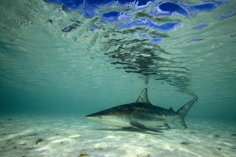 A Blacktip shark in the Atlantic Ocean.