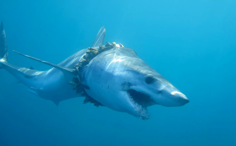 Image: Sharks and rays are getting entangled in plastic pollution. Here, a mako shark in the Pacific Ocean has become entangled by a fishing rope, which is causing scoliosis of the back.