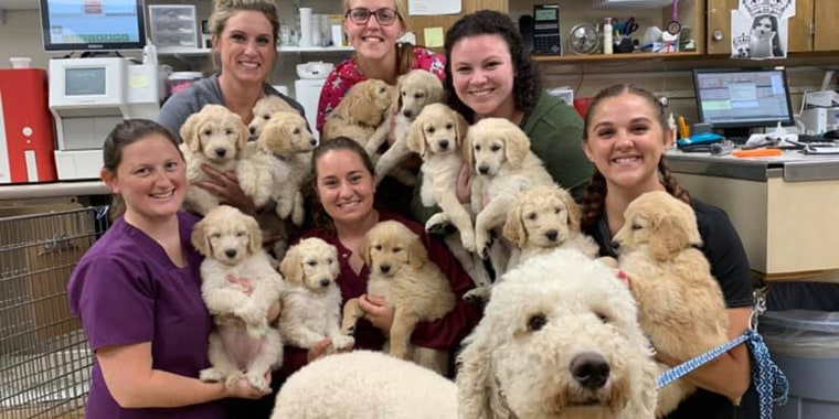 This photo of 12 goldendoodle puppies is the cutest thing you'll see all day