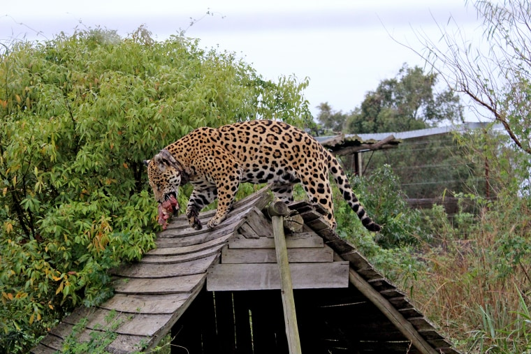 A jaguar catches meat in one of the enclosures in Ibera National Park, Argentina.