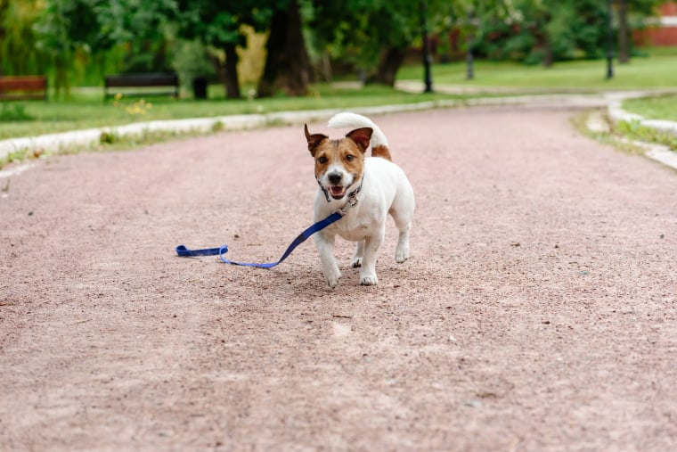 Lost dog walking with loose leash on ground happy to find its owner