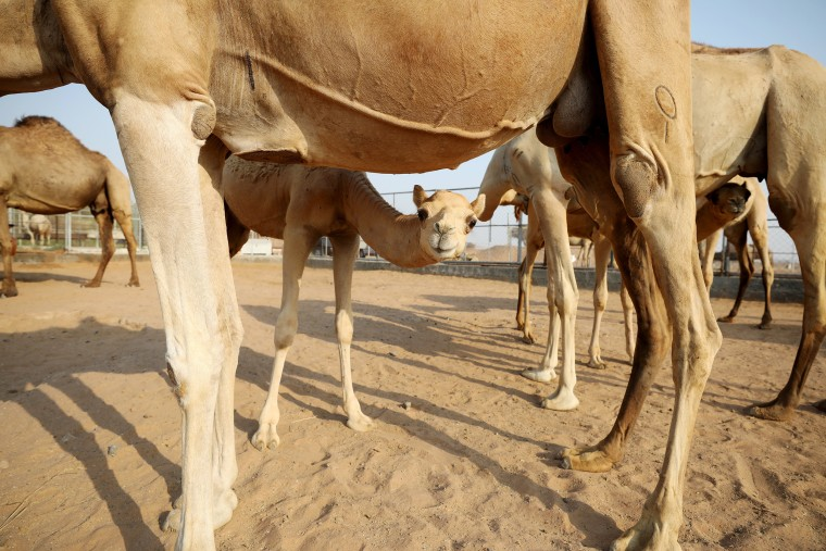 Image: A general view of camels at a farm in Adhen Village