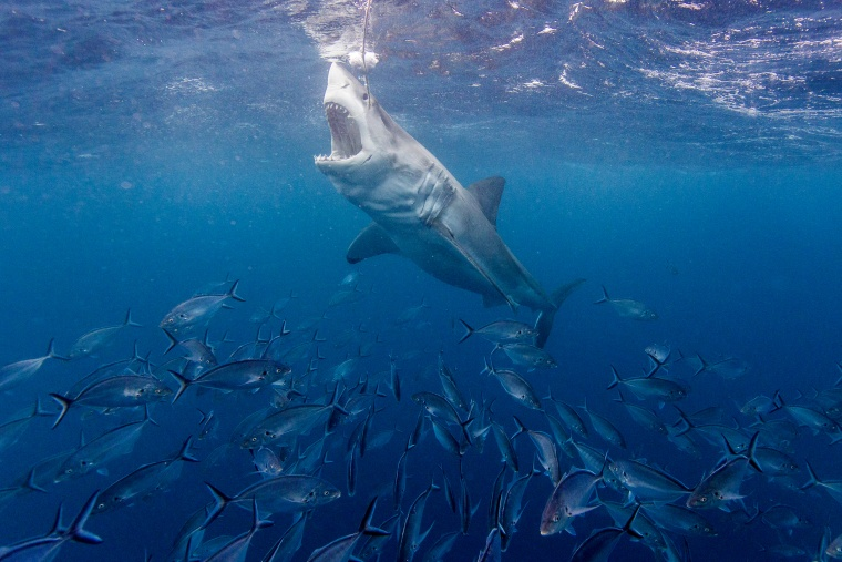Image: A great white shark in Southern Australia.