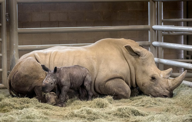 Image: A day-old southern white rhino calf rests beside his mother, Victoria, at the Nikita Kahn Rhino Rescue Center at the San Diego Zoo Safari Park in California on July 29, 2019. The rhino was the first successful artificial insemination birth of a sou