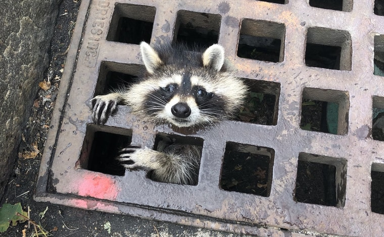 A juvenile raccoon was rescued by the Newton, Massachusetts Fire Department on Aug. 1, 2019.