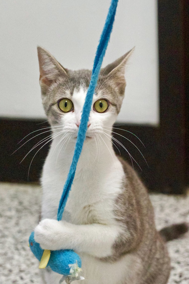 A cat named Daisy plays with yarn.
