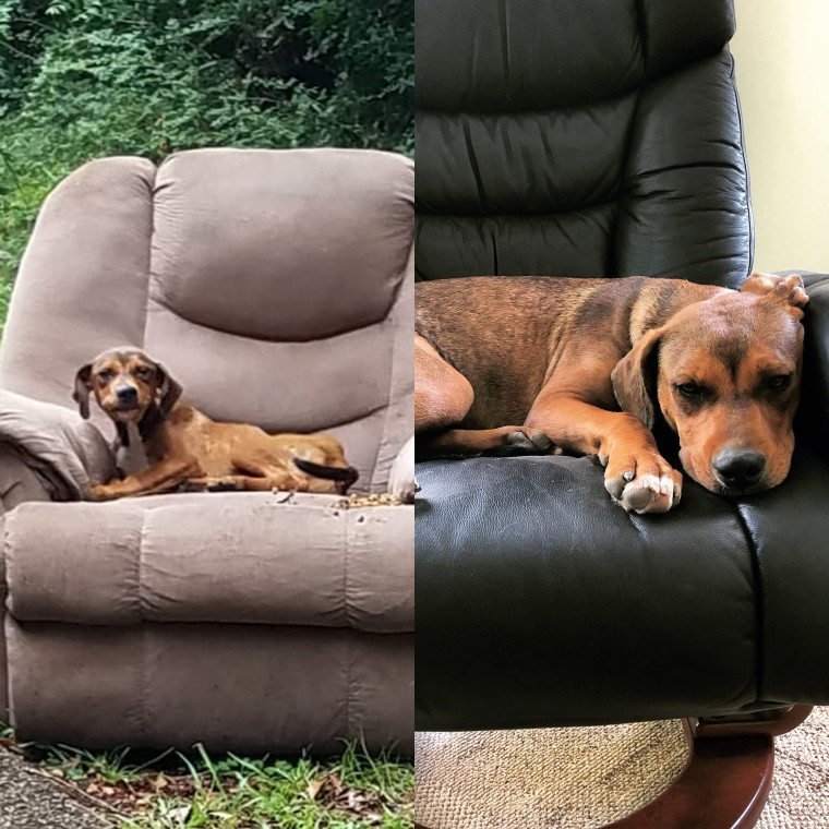 Left: La-Z-Boy Gatson was found waiting for his owner in an abandoned recliner. Right: The 6-month-old dog, who now weighs around 45 pounds, has found a loving home in Michigan.