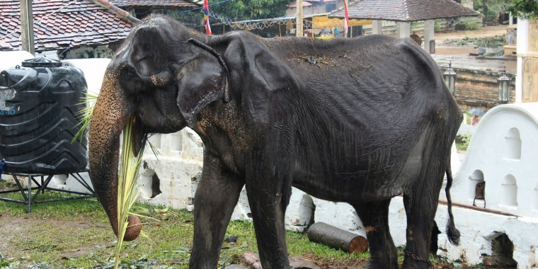 The plight of Tikiri the elephant in Sri Lanka has prompted 13,000 people to sign an online petition.