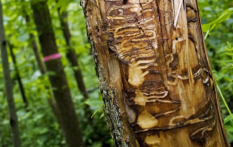 Tracks from Emerald Ash Borers left in a black ash tree outside the Riveredge Nature Center in Newburg, Wis. on June 22, 2011.