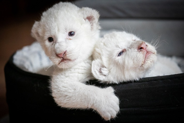 """Two white lion cubs named Nala and Simba lay in their basket at the association \""""Caresse de tigre\"""", at La Mailleraye-sur-Seine, France on Aug. 11, 2019."""
