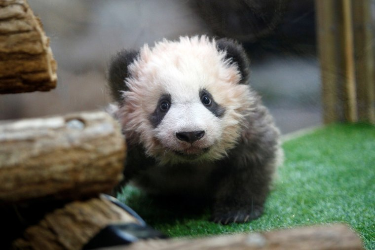 Image: A four-month-old cub named Yuan Meng, which means ?EURoethe realization of a wish?EUR? or ?EURoeaccomplishment of a dream?EUR?, is pictured during it naming ceremony at the Beauval Zoo in Saint-Aignan-sur-Cher