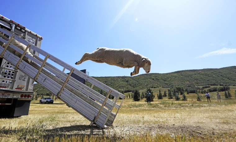 Image: Sheep leap from a truck before the Soldier Hollow Classic Sheepdog Championship in Midway, Utah, on Aug. 28, 2019. Handlers and their dogs compete to herd sheep from a hilltop into a corral.