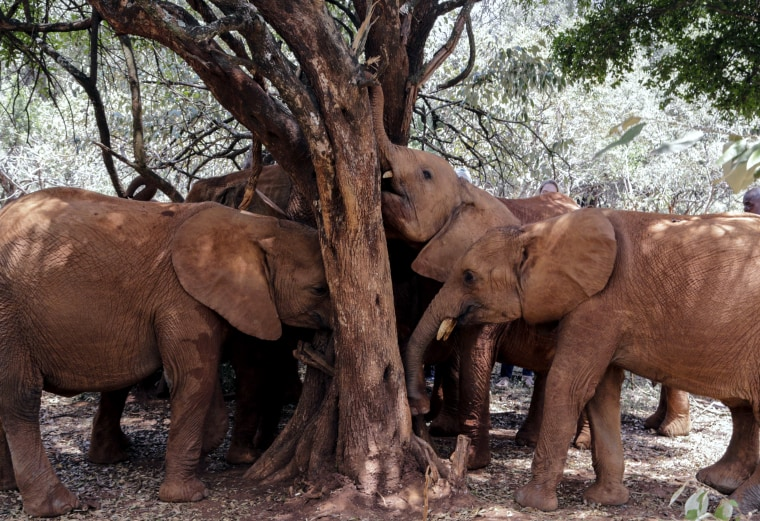 Image: Baby elephants rub their trunks against a tree at the David Sheldrick Wildlife Trust Elephant Orphanage in Nairobi, Kenya, on Aug. 28, 2019.