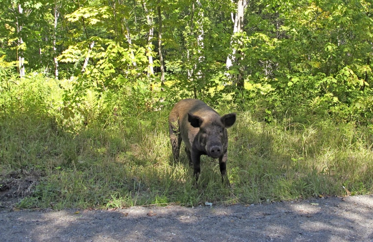 A pig that escaped from a Vermont farm walks along a road in Orange, Vt., on Aug. 29, 2019.